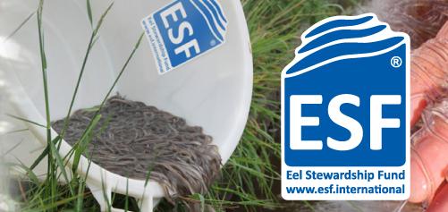 Lancering internationaal keurmerk: Eel Stewardship Fund
